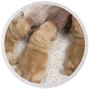 Labrador Puppies Suckling Round Beach Towel