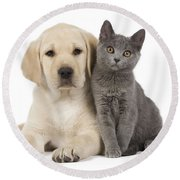 Labrador Puppy With Chartreux Kitten Round Beach Towel