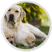 Labrador With Two Puppies Round Beach Towel