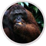 Large Male Orangutan Borneo Round Beach Towel