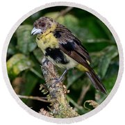 Lemon-rumped Tanager Molting Round Beach Towel