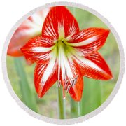 Lensbaby 2 Orange Red And White Amaryllis Blooms Round Beach Towel