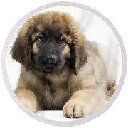 Leonberger Puppy Round Beach Towel