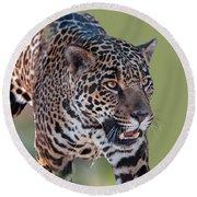 Jaguar Walking Portrait Round Beach Towel