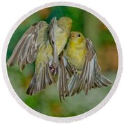 Lesser Goldfinch Females Fighting Round Beach Towel