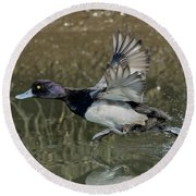 Lesser Scaup Drake Round Beach Towel