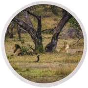Lion In The Dog House Round Beach Towel