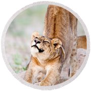 Lioness Panthera Leo Stretching Round Beach Towel