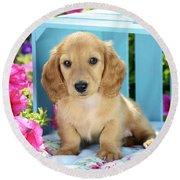 Long Eared Puppy In Front Of Blue Box Round Beach Towel