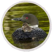 Loon Chick Rides On A Parents Back Round Beach Towel