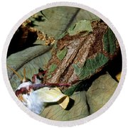 Luna Moth Emerging From Cocoon Round Beach Towel