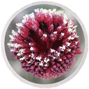 Macro Of Round-headed Leek Flower Allium Sphaerocephalon  Round Beach Towel