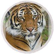 Malayan Tiger 1 Round Beach Towel