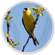 Male American Goldfinch Gathering Feathers For The Nest Round Beach Towel