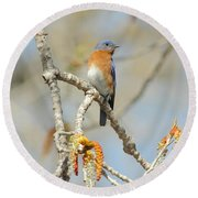 Male Bluebird In Budding Tree Round Beach Towel