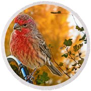 Male Finch In Autumn Leaves Round Beach Towel