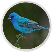 Male Indigo Bunting Round Beach Towel