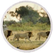 Male Lions At Dawn, Moremi Game Round Beach Towel