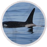 Male Transient Orca In Monterey Bay 11-10-13 Round Beach Towel