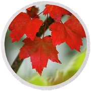 Maple Leaves Show Off Their Autumn Hues Round Beach Towel