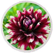 Maroon And White Dahlia Flower In The Garden Round Beach Towel