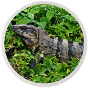 Mexican Spinytailed Iguana  Round Beach Towel