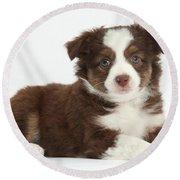 Miniature American Shepherd Puppies Round Beach Towel