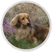 Miniature Long-haired Dachshund Round Beach Towel