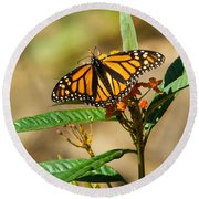 Monarch Butterfly On Plant With Eggs Round Beach Towel