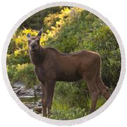 Moose Baby Sniffing Morning Air Round Beach Towel