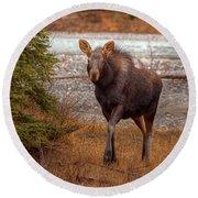 Moose Calf Round Beach Towel