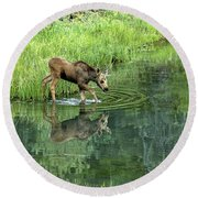 Moose Calf Testing The Water Round Beach Towel