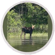 New Hampshire Grazing Cow Moose  Round Beach Towel