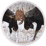 Moose Fighting, Gaspesie National Park Round Beach Towel