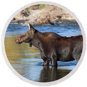 Moose On The  Gros Ventre River Round Beach Towel