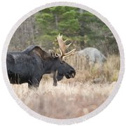 Moose Pictures 75 Round Beach Towel