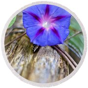 Morning Glory On The Fence Round Beach Towel