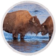 Mother And Calf Bison In The Lamar River In Yellowstone National Park Round Beach Towel