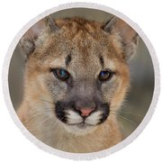 Mountain Lion Felis Concolor Captive Wildlife Rescue Round Beach Towel