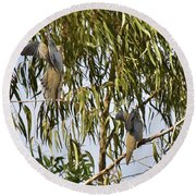Mourning Doves Landing In Eucalyptus  Round Beach Towel