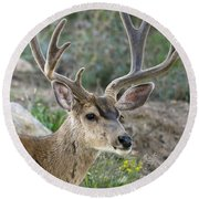 Mule Deer Buck In Velvet Round Beach Towel