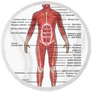 Muscular System In Male Anatomy Round Beach Towel