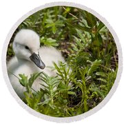 Mute Swan Pictures 210 Round Beach Towel
