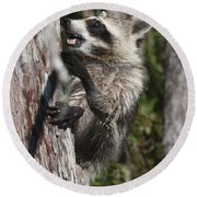 Nasty Raccoon In A Tree Round Beach Towel