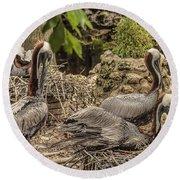 Nesting Brown Pelicans Round Beach Towel
