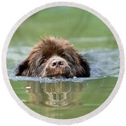 Newfoundland Dog, Swimming In River Round Beach Towel