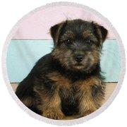 Norfolk Terrier Puppy Dog, Sitting Round Beach Towel