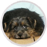 Norfolk Terrier Puppy Round Beach Towel