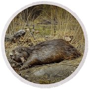 North American Beaver Round Beach Towel