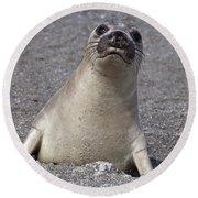 Northern Elephant Seal Weaner Round Beach Towel
